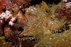 Lacy_scorpionfish