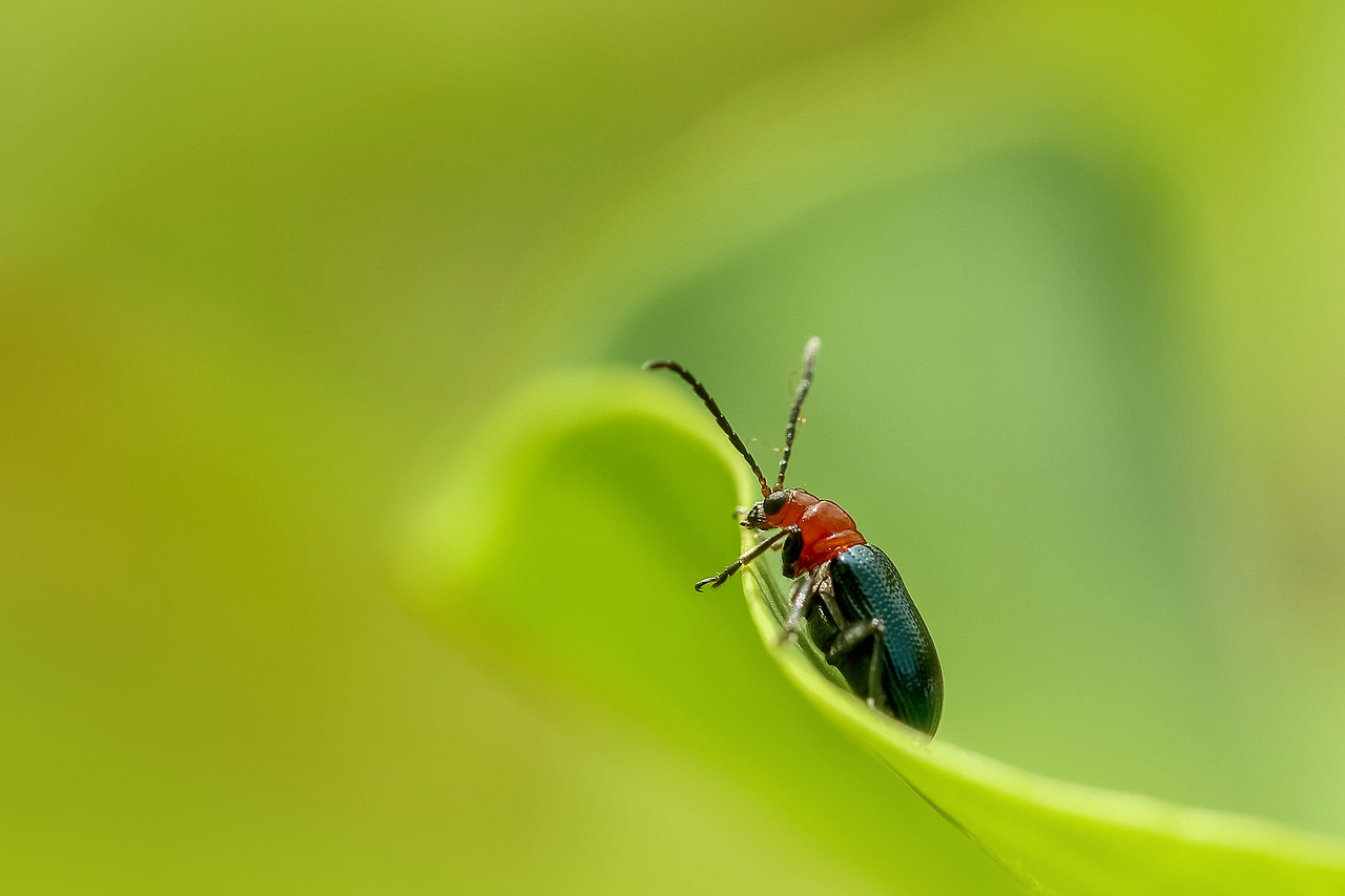 A red and black beetle on a bright green leaf.