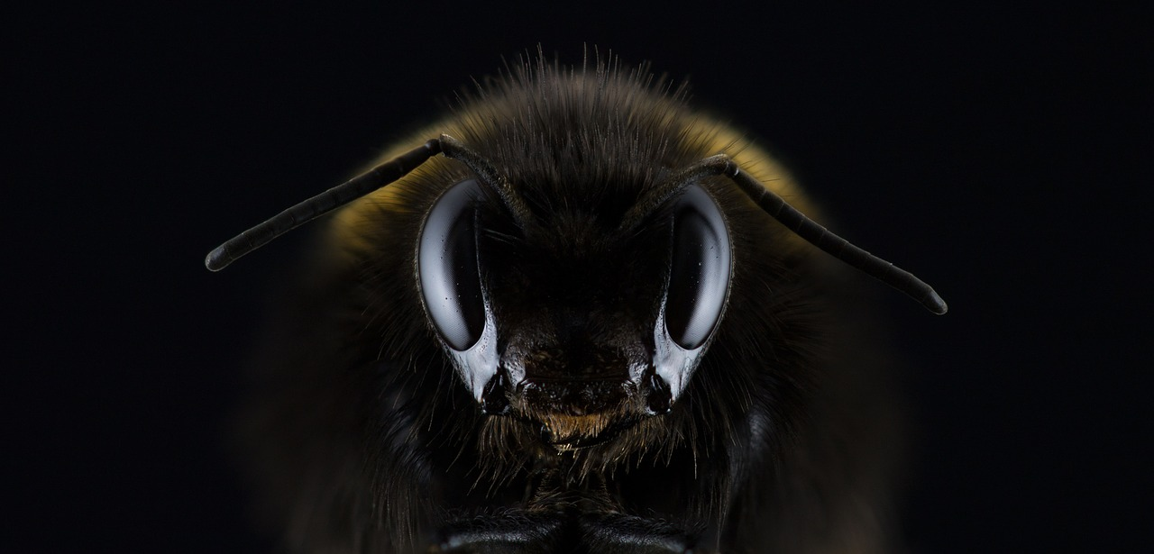 A bee in a very dark background, with only its head clearly visible, facing the camera.