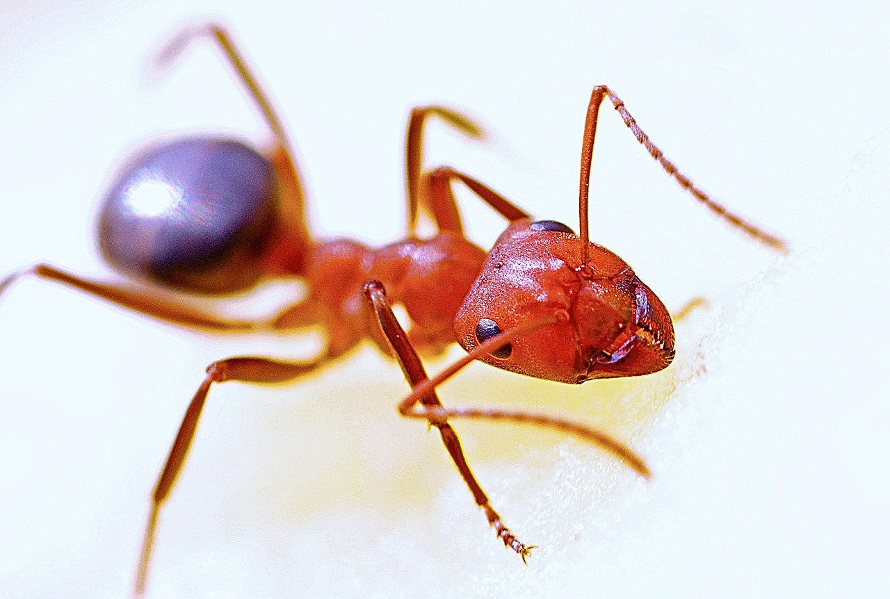 A red-colored ant on a white background.